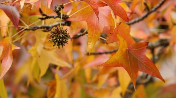 Sweetgum Tree Removal 317-537-9770